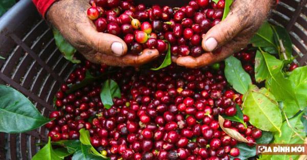 Giá cà phê tăng nhẹ 100 ngàn đồng/tấn